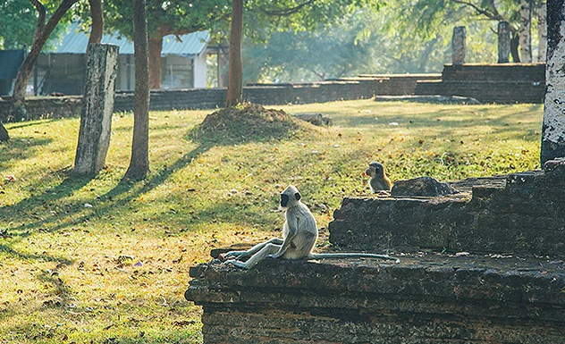 Meet the Monkeys of Polonnaruwa - Experience - Sri Lanka In Style