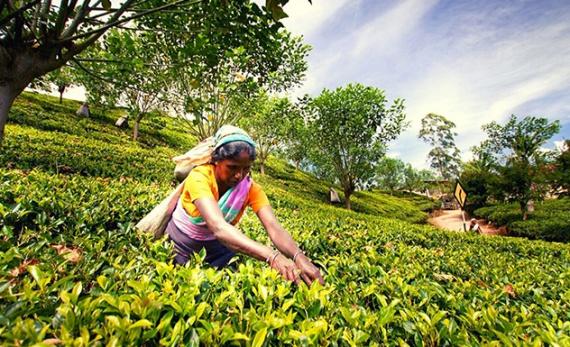 Trek Taylor's tea hills - Kandy -  Sri Lanka In Style