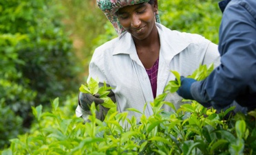 A visit to a modern-day tea factory - KK Beach - Sri Lanka In Style
