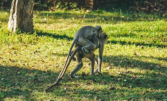 Meet the Monkeys of Polonnaruwa - Polonnaruwa -  Sri Lanka In Style